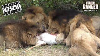 getlinkyoutube.com-Male Lions Destroy Male Impala (4K Video)