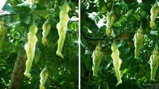 Mystery Tree That Bears Fruit In The Shape Of WOMEN Found Growing in Thailand