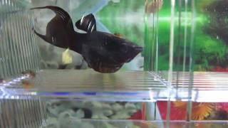 getlinkyoutube.com-black molly fish giving birth