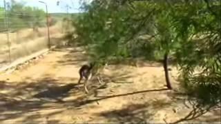 getlinkyoutube.com-Wild capture - Captura de venados