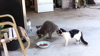 getlinkyoutube.com-고양이 밥 훔쳐먹는 너구리..