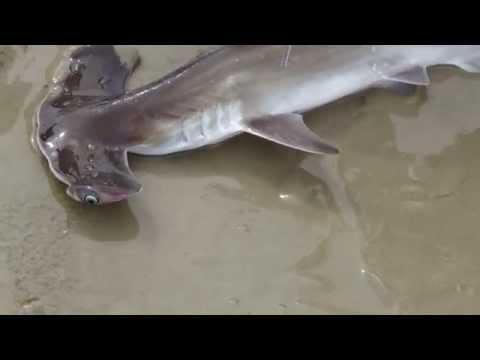 Salvando um Filhote de Tubarão Martelo