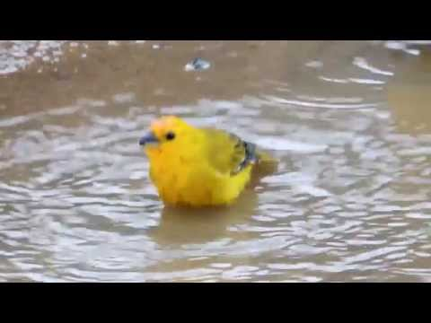 Aves de Venezuela – Aves de Barinas - Canario de Tejado y Tangara Rey