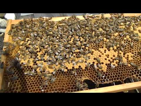 Beekeeping 2014 Finding the Queen April 17, 2015