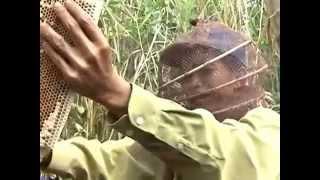 getlinkyoutube.com-Mật ong rừng Bác Ba - Quy trình lấy mật ong trong rừng U Minh Hạ (Cà Mau)