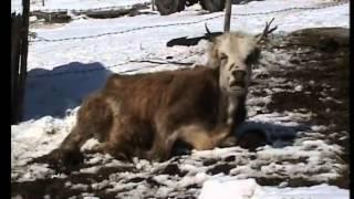 getlinkyoutube.com-Hido Muratovic - Sestrama Slobodanki i Miroslavki uginule krave