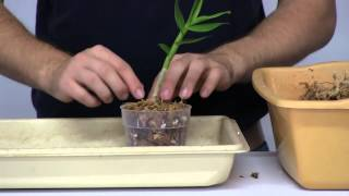 getlinkyoutube.com-How to Stimulate New Root Growth on Orchids