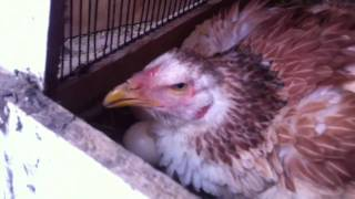 getlinkyoutube.com-New aseel baby hatched