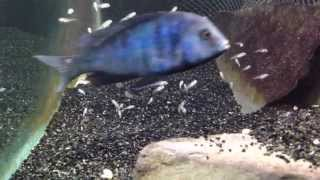 getlinkyoutube.com-African cichlid fish releasing fry from mouth
