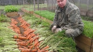 Как вырастить урожайную морковь на высоких грядках