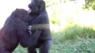 getlinkyoutube.com-Gorilla Fight