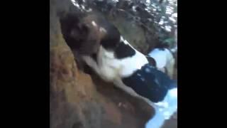 getlinkyoutube.com-Cães de caça rastreadores 3