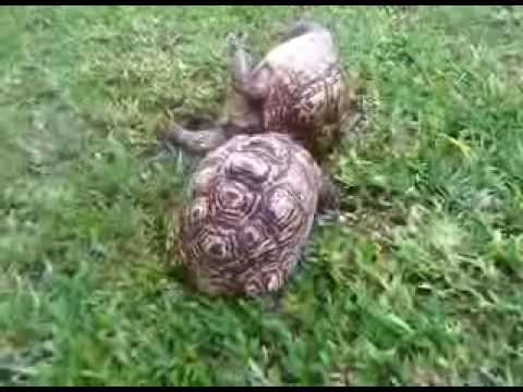 Tortoise helping eachother out