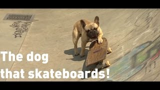 This Self-taught skateboarding dog becomes an internet sensation