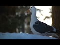 Musique+Cinéma :Jonathan Livingston Seagull -Dear Father,Anthem,Skybird -Neil Diamond +Lyrics