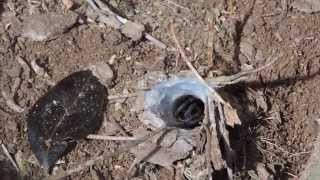 getlinkyoutube.com-Playing with one of the deadliest spiders in the world! FUNNEL-WEB SPIDER | JustBecause