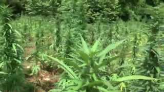 getlinkyoutube.com-Giant Jamaica Ganja Fields 2014