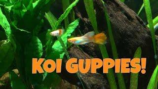 getlinkyoutube.com-Koi Guppy Fish Unboxing, Fish Room Update!