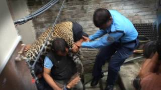 getlinkyoutube.com-काठमाडौमा चितुवा आ‌ंतक A Leopard Enters a Home in Kathmandu Kuleshower