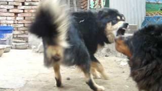 getlinkyoutube.com-Tibetan Mastiff videos