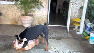 getlinkyoutube.com-rottweiler vs pitbull new