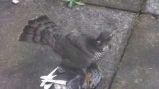 getlinkyoutube.com-Sparrow Hawk Catches a  Pigeon