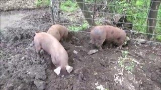 THE HOBBY FARM. Happy Pigs. More Space In The Pig Pen.  Adding On.
