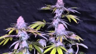 getlinkyoutube.com-Alien Abduction Cannabis Grow   Update 6
