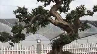 getlinkyoutube.com-Bonsai Cina - Exibition Guangdong e Hong Kong 26-12-2008