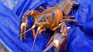 getlinkyoutube.com-【ザリガニ釣り】謎の巨大ザリガニが爆釣!!【ウチダザリガニ】 Signal crayfish fishing