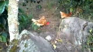 getlinkyoutube.com-gallina feliz en colombia (bienestar animal)