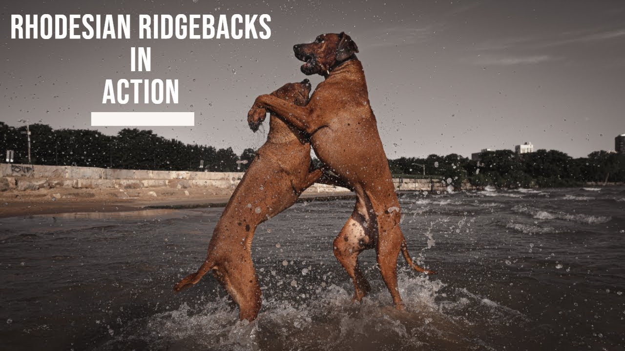 Rhodesian Ridgebacks in Action Video Thumbnail