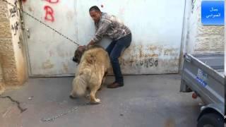 getlinkyoutube.com-الكلب لوكو الاشرس بالعالم هاجمني السبب جرح في رقبته مع جمال العمواسي