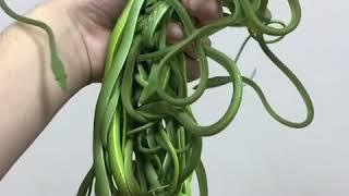 Massive Handful Of Snakes