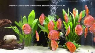 getlinkyoutube.com-25 Stendker Pigeon Blood Rot Diskusfische im 1200 Liter Aquarium
