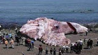 getlinkyoutube.com-Monster der Tiefsee - Riesenkraken - DOKU