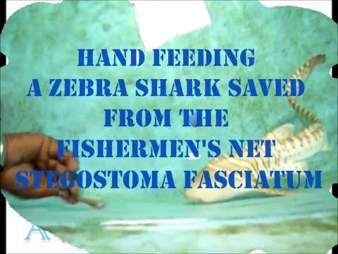 Zebra Shark Feeding at Aquamarines Sri Lanka