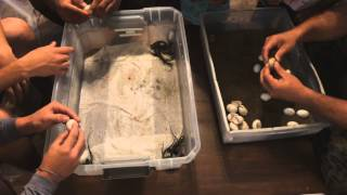 Herein Lies the Rub: The First Tegu Hatching Party of 2015