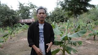 getlinkyoutube.com-ทำสวนปลูกกล้วย - วิธีการให้น้ำกล้วยหน้าแล้งแบบประหยัดและคุ้มค่า