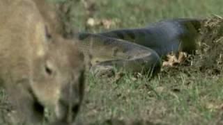 getlinkyoutube.com-Discovery - Duelo animal entre uma onça pintada e uma sucuri