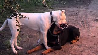 getlinkyoutube.com-Dogo argentino vs rottwailer