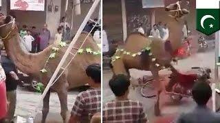 getlinkyoutube.com-باكستانيون يضحون بجمل بمناسبة عيد الأضحى إلا أن الأمور لم تسير على مايرام