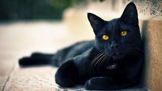 getlinkyoutube.com-Black Cat should not be in house? By Assim Al Hakeem