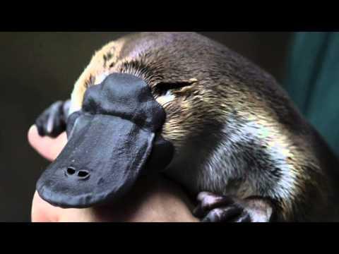 El Ornitorrinco, la Criatura Asombrosa de Australia