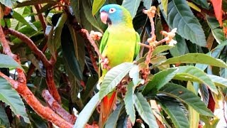 getlinkyoutube.com-Wild Parrots - Blue Crowned Conures in Central Florida