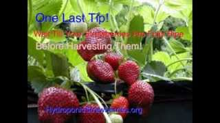 getlinkyoutube.com-How To Grow Hydroponic Strawberries That Will Amaze Your Friend And Family