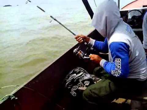 Memancing ikan kakap tompel besar pakai teknik dasaran dengan umpan udang segar
