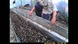 getlinkyoutube.com-как выращивать огурец-подготовка земли часть 1