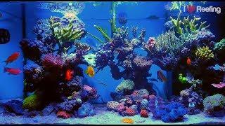 getlinkyoutube.com-2 years Schwings Reef Tank 500l (130gal) / powered by Ecotech Radion xr30w Pro, Vortech mp40W & NYOS
