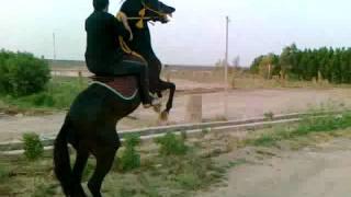 ترويض الحصان العنيد   ( ضرغام المالكي )
